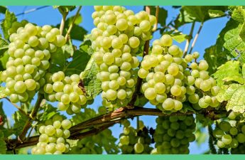 The picture shows some green grapes hanging off a tree. The image has a green boarder. The image is being used in an article about foods to freeze.