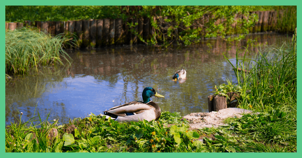 This image shows a duck on a duck pond. It is being used to illustrate an alphabet dating idea (duck pond). The image has a green border.
